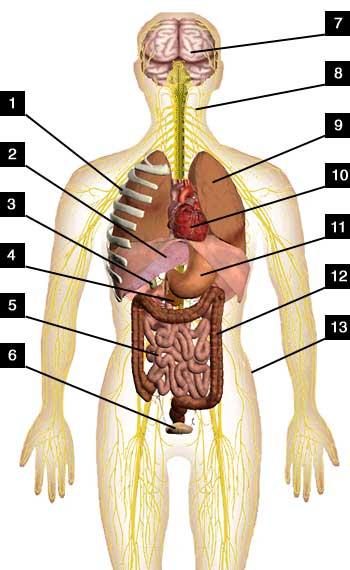 строение органов у